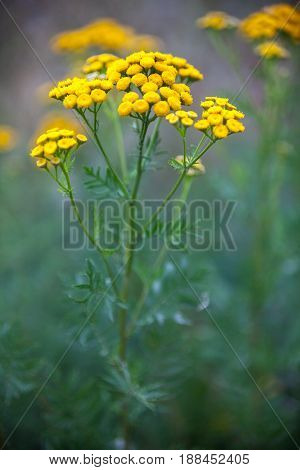 Yellow tansy flowers (Tanacetum vulgare common tansy bitter button cow bitter or golden buttons) in the green summer meadow. Wildflowers.