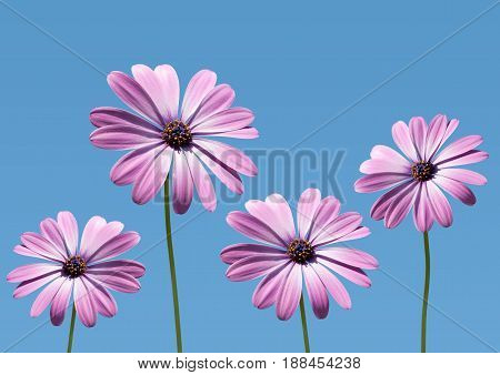 closeup of pink daisybushes Osteospermum with blue sky background