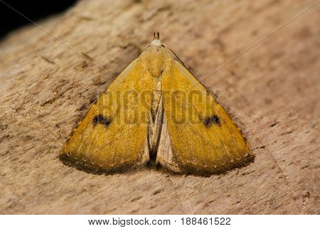 Straw dot moth (Rivula sericealis) on wood. British insect in the family Erebidae previously in Noctuidae the largest British family in the order Lepidoptera