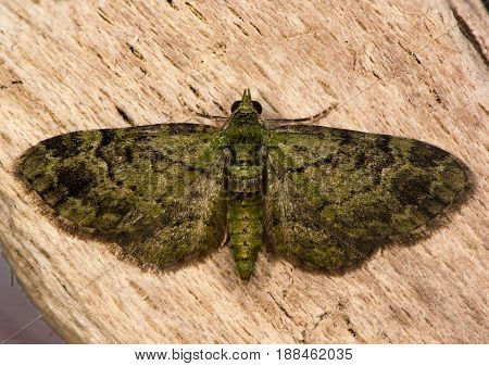 Green pug (Pasiphila rectangulata) moth. British insect in the family Geometridae the geometer moths at rest on wood