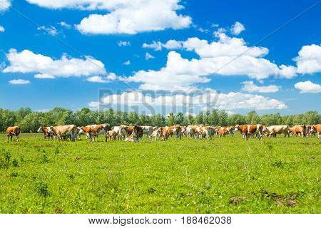 Cows on farm in nature park Lonjsko polje, Croatia, sunny sumer day
