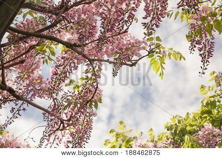 Looking up at pink wisteria in full bloom.