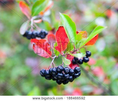 Black chokeberry (Aronia melanocarpa) fruit in the autumn garden. Close-up.