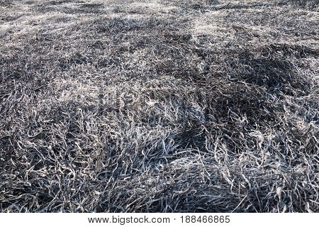Burnt grass in the field after the big fire.