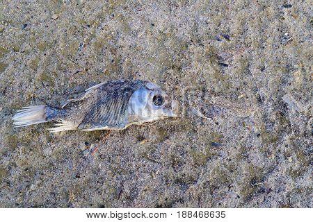 Dead carp fish on sand coast. Toxic poisoning. Lake in Siberia Altay Region Russia.