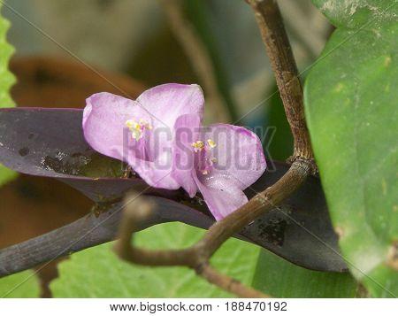 pequeñas flores moradas, juntas, tiernas , naturales