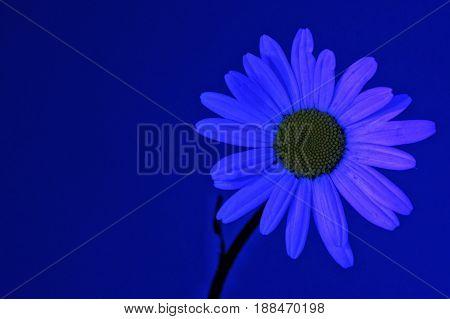 Daisy flower light by ultraviolet (UV) light