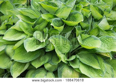 Hostas are also known as giboshi in Japanese.