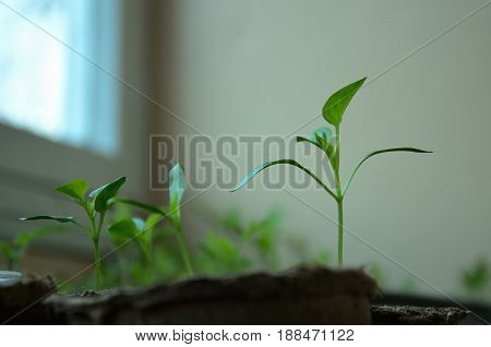 The small sprouts of Bulgarian pepper in round peat pots poster
