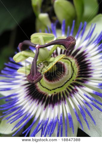 close up shot of a passion flower