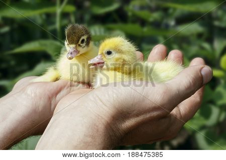 Two newborn ducklings in the hands of the farmer. Cute Ducklings.