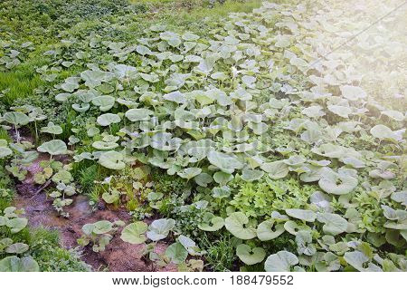 A large field of green burdock in the lowland