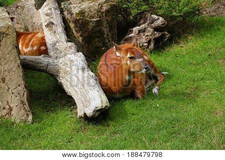 Doe (roe) is lying near big fallen tree