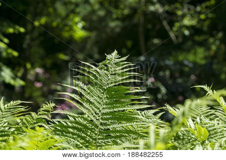 View on beautiful Green Ferns in the Forest. Ferns in the Morning Light.