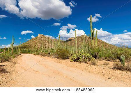 Giant Saguaro cactus near road in Arizona desert.
