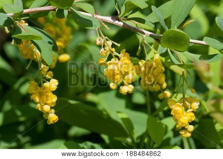 Branch of a blossoming barberry. Yellow flowers of barberries on bush. Selective focus, shallow DOF,