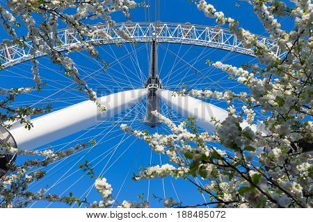 London England - 9 April 2017 - London Eye ferris wheel stands tall against deep blue spring sky and foreground trees in London England on April 9 2017