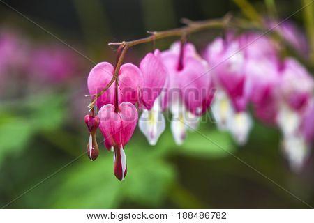 Close up of heart bleeding flower in garden summer time.