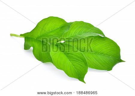 green leaf of amorphophallus paeoniifolius (dennst.) nicolson.elephant yam stanley s water-tub konjac isolated on white background