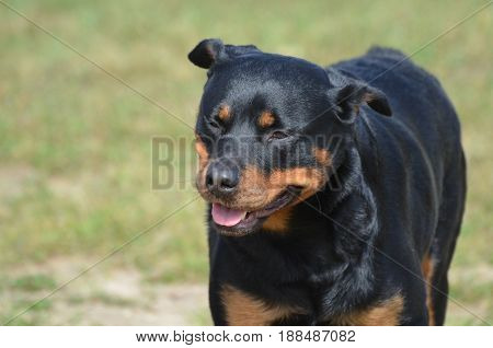 Gorgeous face of a rottweiler dog in a field.