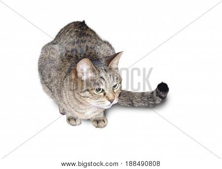 Gray cat with black pattern sits on a white background