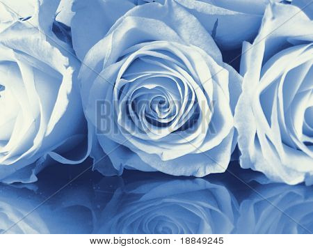 cyano-type photographic reproduction/conceptual photograph 'reflected roses'