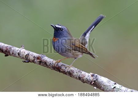 Rufous-gorgeted Flycatcher Ficedula Strophiata Cute Male Birds Of Thailand