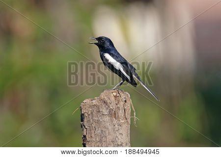 Oriental Magpie Robin Copsychus Saularis Male Birds Of Thailand