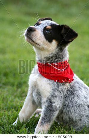 Heeler Pup 6