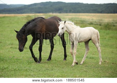 Beautiful Foal With Mare On Pasturage