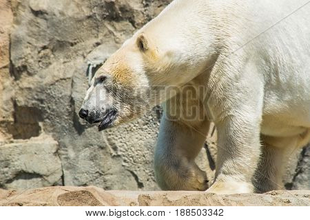 Close up shot of polar bear (Ursus maritimus)