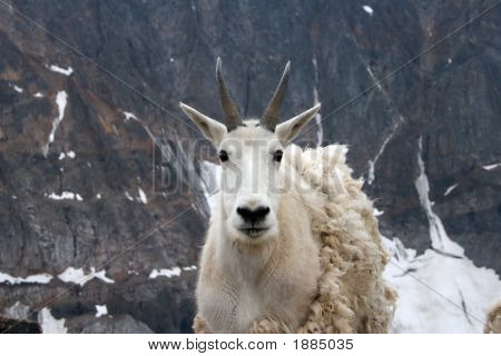Mountain goat near Granite Peak's base camp Montana poster