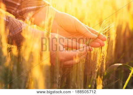 Female farmer hands in wheat plantation examining cereal plant ear development