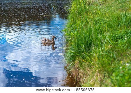 The duck swims along the blue water of the lake or river on the right the grass grows on the whole frame. Nature birds
