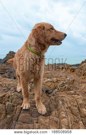 Red Dog With A Collar On A Rock