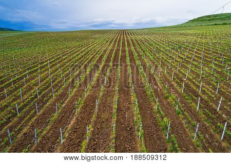 Field Of Red Wine Grape Vineyard