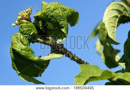 Aphids (Aphidoidea) on the leaves of viburnum