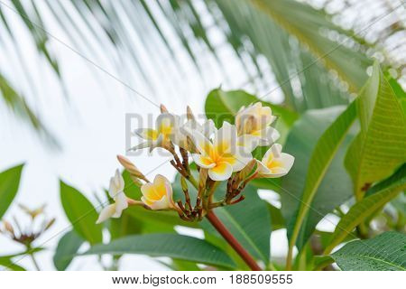 White and yellow Plumeria Frangipani tree blooming is a popular tropical flowers in spa and relaxing resorts