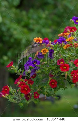 A single hummingbird enjoys a high energy meal from fragrant blooms and blossoms