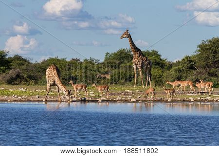 Giraffes and Impalas at a waterhole Etosha National Park Namibia Africa