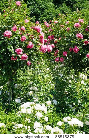Rose-Tree with pink roses beautiful flowers in spring