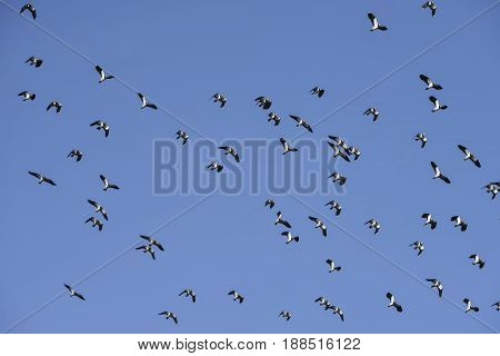 Flock of migratory lapwing birds in clear Winter sky