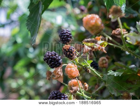 New Blackberry, Black And Red Blackberries On A Branch