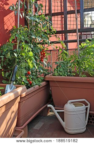Tomatoes Cultivation In The Vases Of An Urban Garden