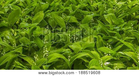 Glade with lily of the valley lilies.
