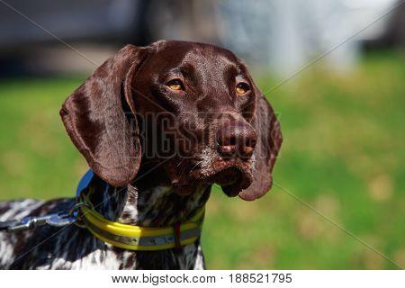 The dog breed Deutsch Kurzhaar on a green grass