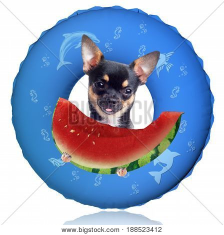 Cute chihuahua dog have warm and eating a fresh juicy watermelon after swim ring