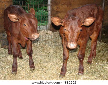 Devon Bulls