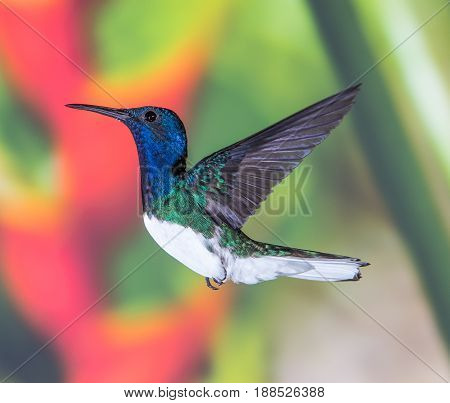 White-necked Jacobin hummingbird perched in flight in Costa Rica