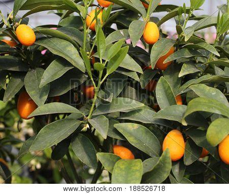 Orange Kumquat Fruits On The Tree
